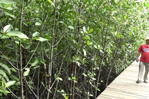 Faedah mangrove menghalau banjir di utara Jakarta