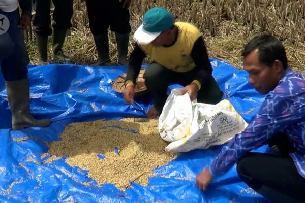 Stok beras aman meski belasan hektar sawah diterjang angin