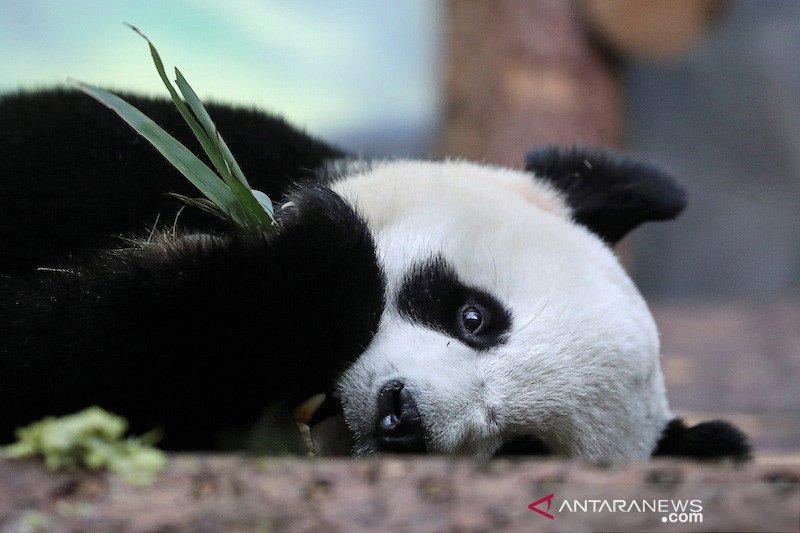 Kebun binatang ditutup, panda raksasa di Moskow kangen manusia